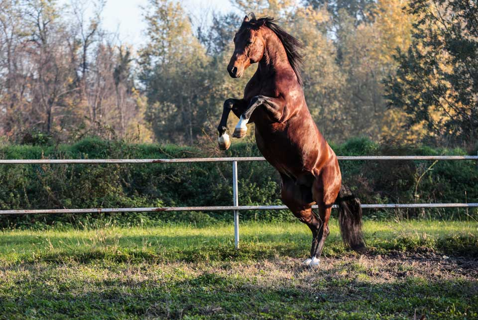 cavallo reining
