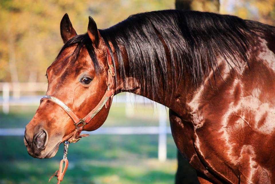 fattrice quarter horse vendita