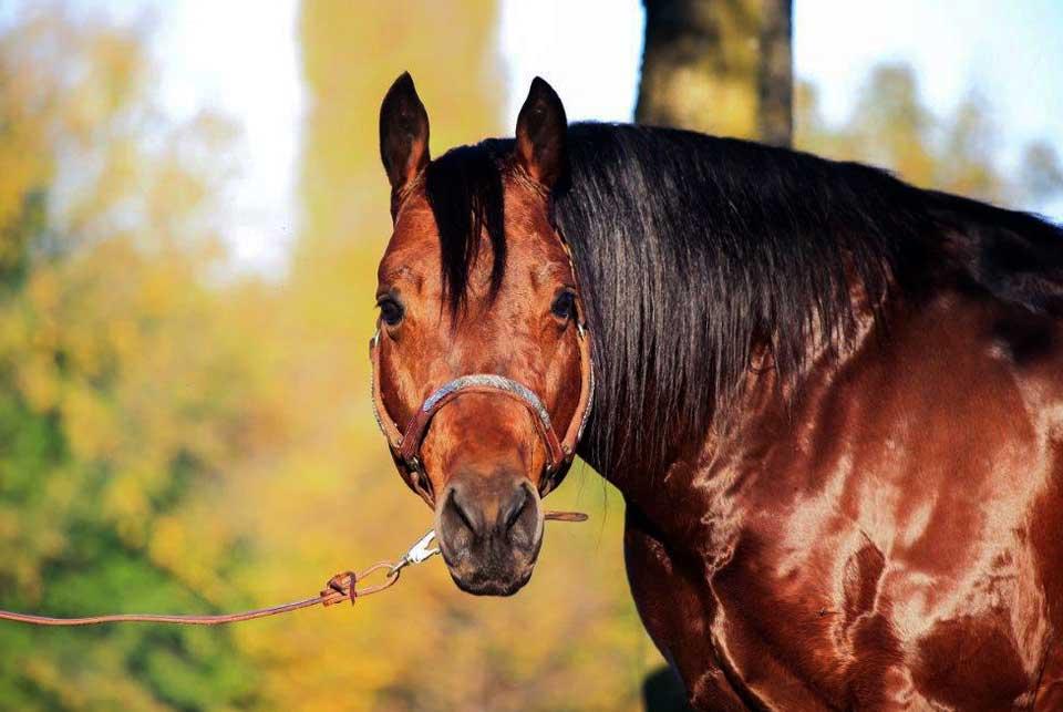stalloni madama horses